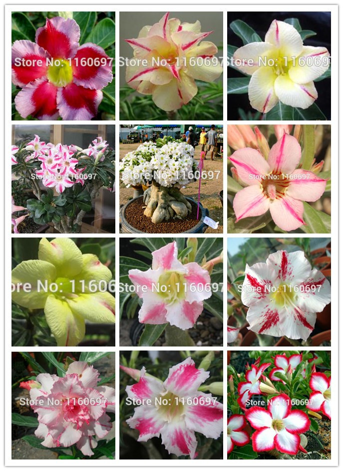 Many kinds Real adenium obesum seeds sementes de flores 1pcs desert rose seeds semillas de plantas+ a free gift(China (Mainland))