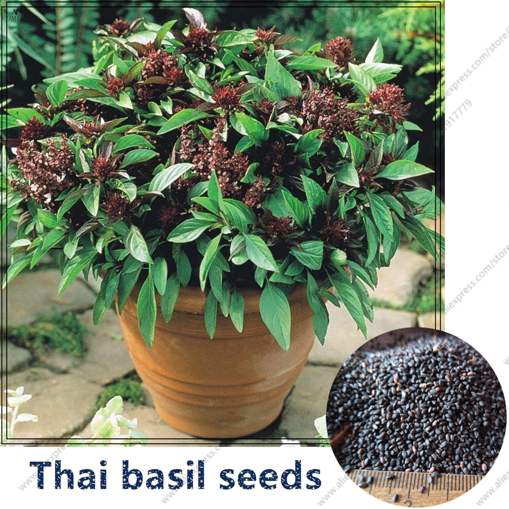 Online buy wholesale thai basil seed from china thai basil seed wholesalers - Medicinal herbs harvest august dry store ...