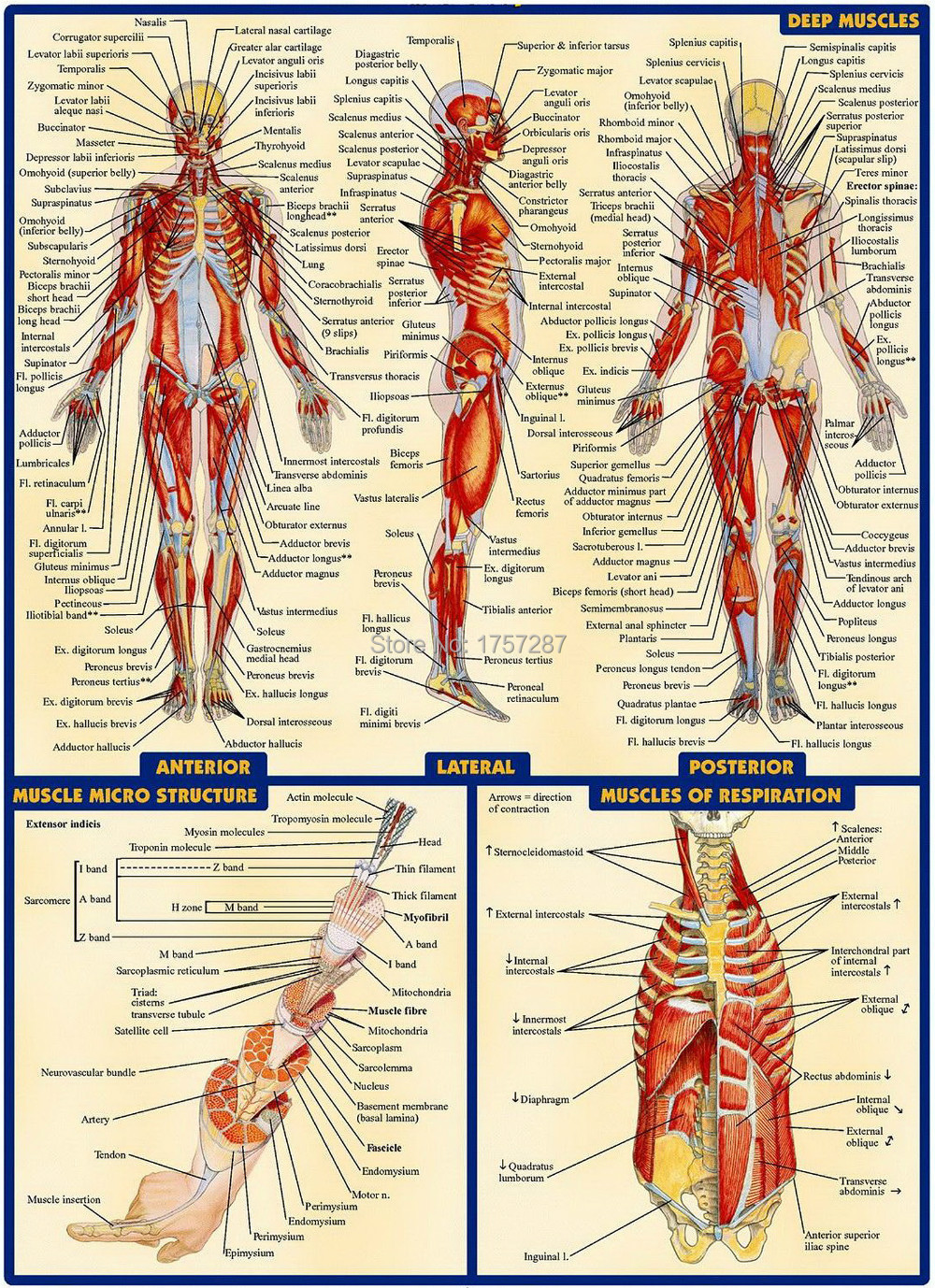 03 Human Anatomy All System Deep Muscles Map  14 U0026quot X19 U0026quot  Inch  Poster