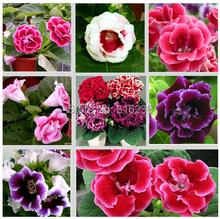 flowers gloxinia seeds, sinningia gloxinia flower seed Garden plants, perennial planting – 100 seeds