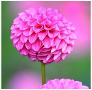 Type ordinally yukako dahlia bulbs seeds bonsai flowers  100 pcs seeds