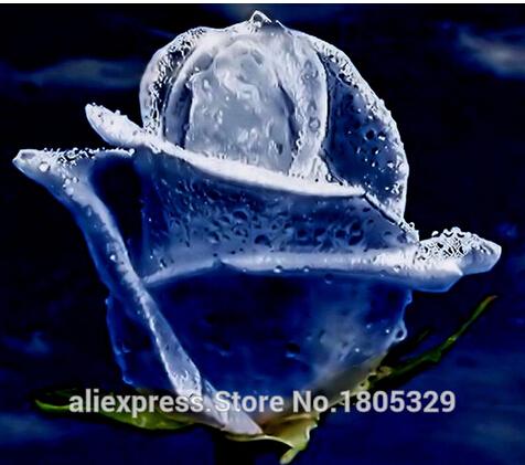 Free Shipping 200 Swept Away Rose Seeds --Fire & Ice Rose ,Beautiful DIY Home Garden Flower(China (Mainland))