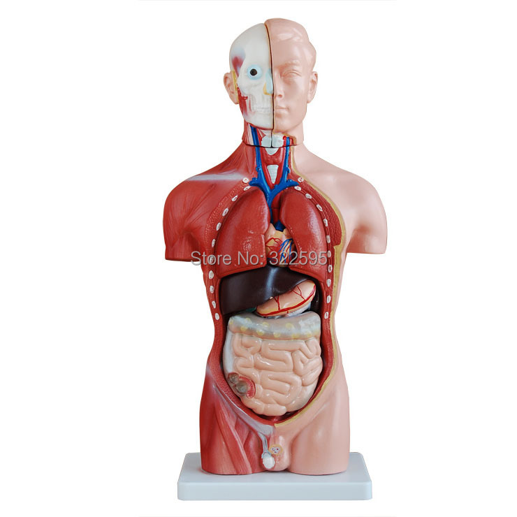42CM male 13 torso model torso anatomical model of medical biological teaching aids equipment<br><br>Aliexpress