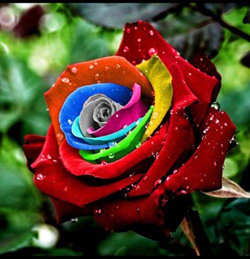 Color Cotton Seed Roses Seed Color Rose Seeds