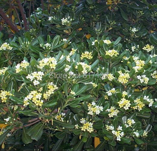 Diy Home Garden Plant 20 Seeds Pittosporum tobira, Japanese Mock Orange Cheesewood, Australian Laurel Free Shipping(China (Mainland))