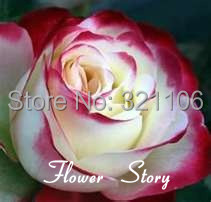 Free Shipping 20 Swept Away Rose Seeds Fire Ice Rose Beautiful DIY Home Garden Flower