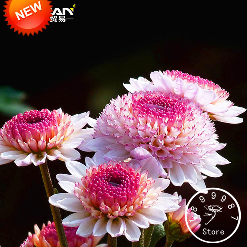New Arrival!100 Seeds/pack Beautiful Hot Pink White Color Chrysanthemum Seeds Morifolium Seeds DIY Gardening Flower Plant,#TXZJ0(China (Mainland))