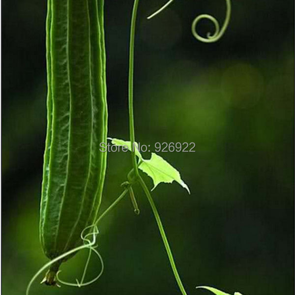 Vegetable seeds Luffa cylindrica, loofah, angular towel gourd seeds,,about 8 particles(China (Mainland))