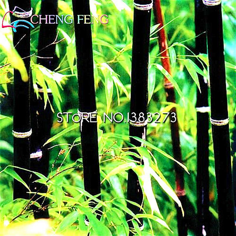 Gigante nero di bamb acquista a poco prezzo gigante nero for Semi bambu gigante