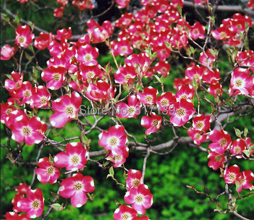 new home gaeden plant 5 seeds red flowering dogwood cornus florida rubra tree seeds free. Black Bedroom Furniture Sets. Home Design Ideas