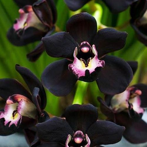 Гаджет  100 PCS Unique Black Cymbidium Faberi Flower Seeds Garden Flower Seeds Flowering Plants Orchid Flower Seeds None Дом и Сад