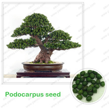 Bonsai seeds, Podocarpus seed, seeds is really 100% in-kind shooting