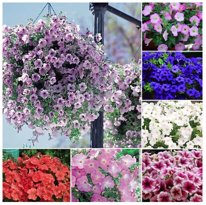 20 different Hanging petunia seeds blended color flower seeds plant seeds garden petunia 100 pcs
