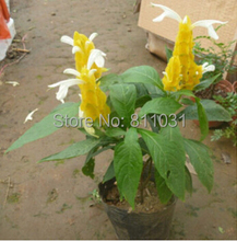 Buy 20pcs/bag Pachystachys seeds, potted seed, flower seed, variety complete, budding rate 95% FREE SHIPPING for $1.96 in AliExpress store