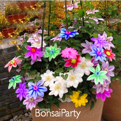 Promotion!Bonsai Clematis Bulbs Wire Lotus Plant Seeds Multicolor Clematis Climbing plants Seeds 50 PCS/Pack,#SBZY6J(China (Mainland))