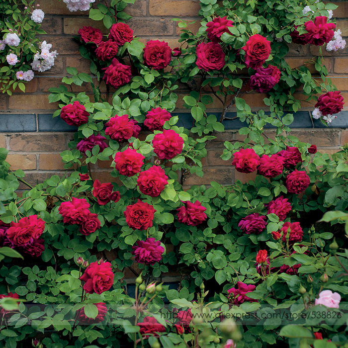 Rare 'Tess of the d'Urbervilles' Dark Red Climbing Rose Plant Flower Seeds, Professional Pack, 50 Seeds / Pack, Fragrant Flowers(China (Mainland))
