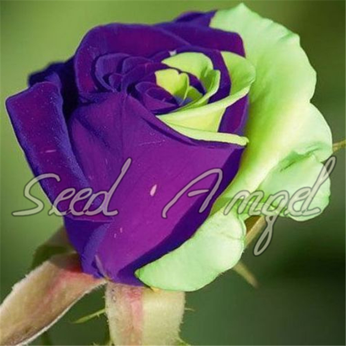 mixed 100 rose seeds/pack ,Four Seasons sowing the seeds of perennial flowers, rose flowers seeds easy to plant(China (Mainland))