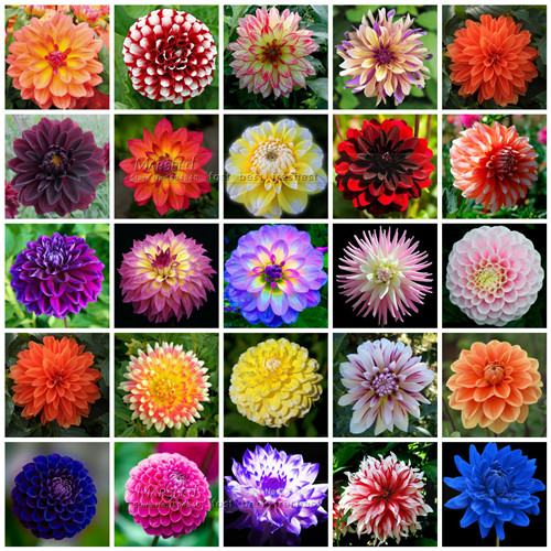 50 seeds color gorgeous dahlia flower seeds easy to grow - Plants with blue flowers a splash of colors in the garden ...