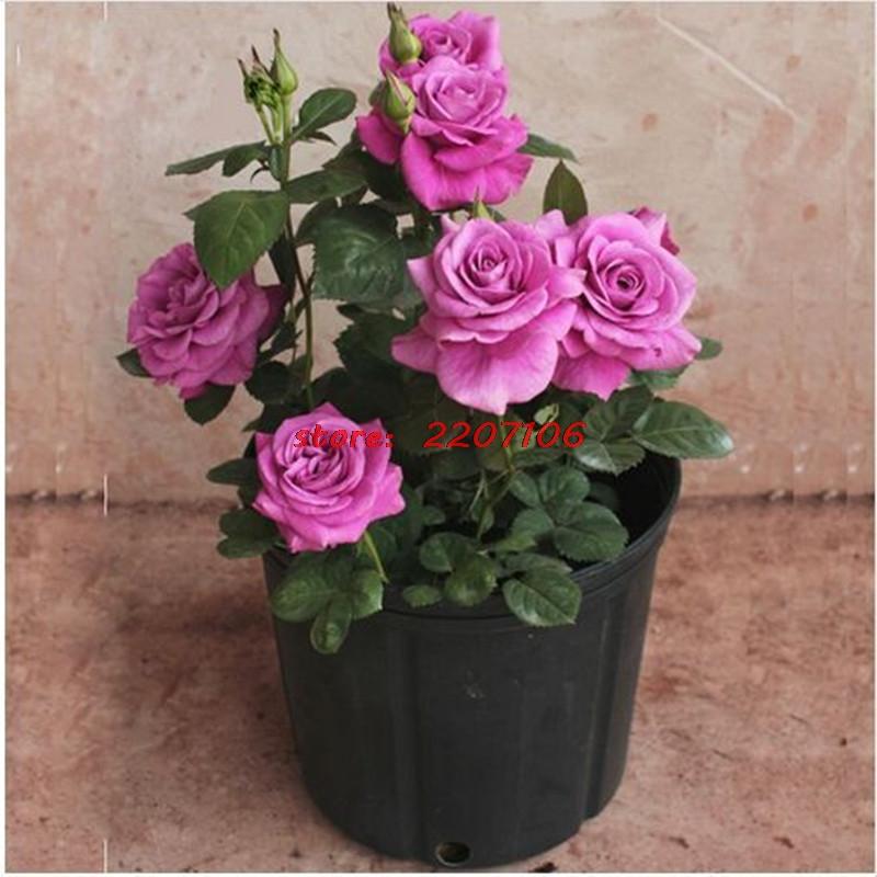 50 Purple Chinese Rose Tree Bonsai seeds Beautiful flower Yard Flower Free Shipping(China (Mainland))