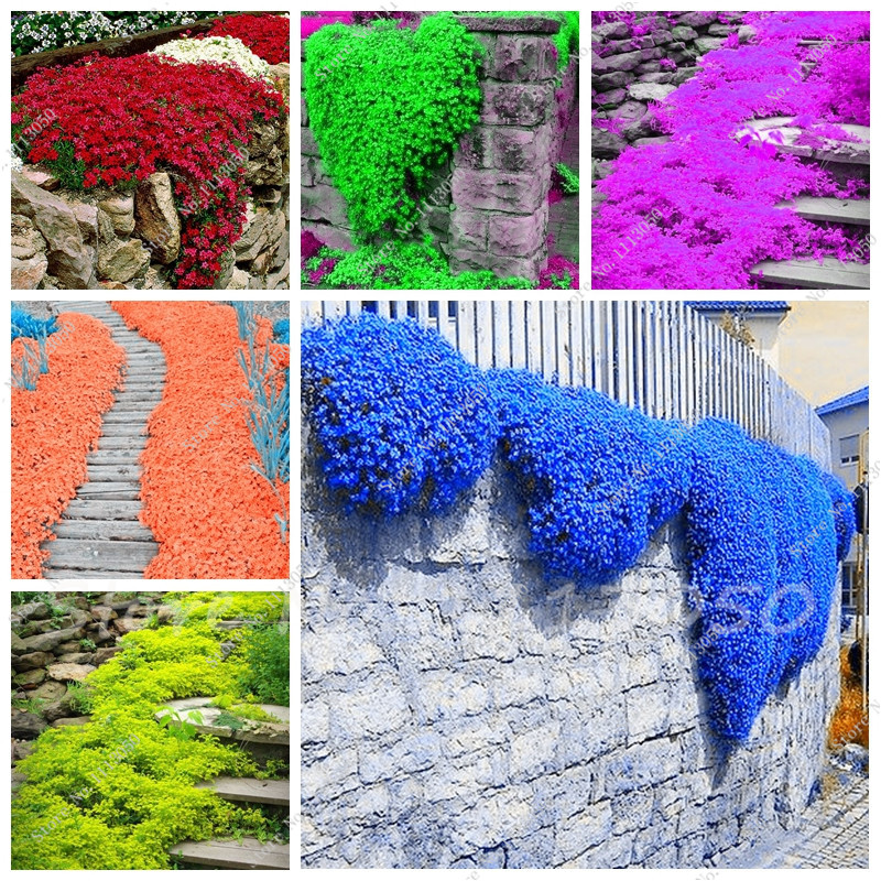 100 Pcs/bag Creeping Thyme Seeds or Rare Color Rock Cress Seeds - Perennial Ground Cover Flower ,Natural Growth for Home Garden(China (Mainland))