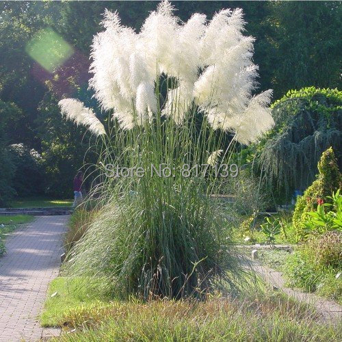 Herbal Plants 20 Seeds Home Garden Real Fresh Ornamental Cortaderia Selloana,White Pampas Grass Flower Seed Free Shipping(China (Mainland))