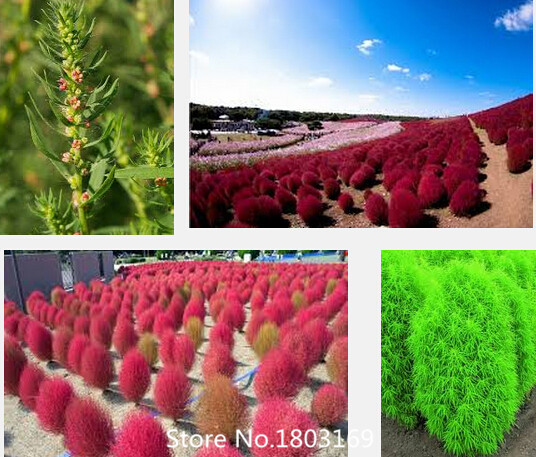 2016 Top Fashion Promotion Summer Seeds Sementes Fd612 Rare Kochia Scoparia Grass Seeds Showy E~z Grow Rapid Exotic Hardy 500pc(China (Mainland))