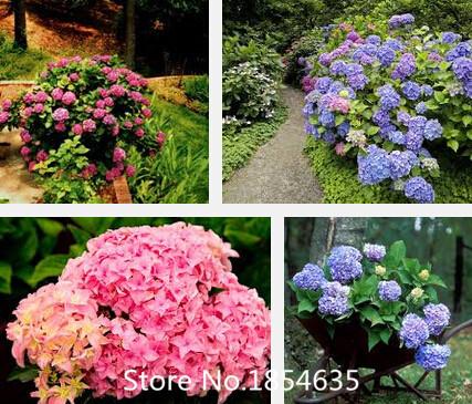 2016 New Perennial Bonsai Seed Plant hydrangea seeds 100pcs- Bonsai Flower Seeds Beautifying Garden Plant Promotion(China (Mainland))