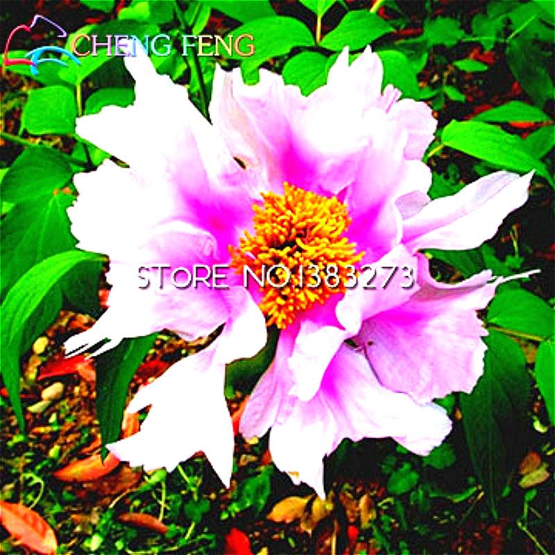 100 Semillas de China Fengdan Semillas de Flores de Plantas De Jardín Decoración Al Aire Libre/Japón Salvaje Mini Peony Semillas de Bonsai de interior Regalo Para niños(China (Mainland))