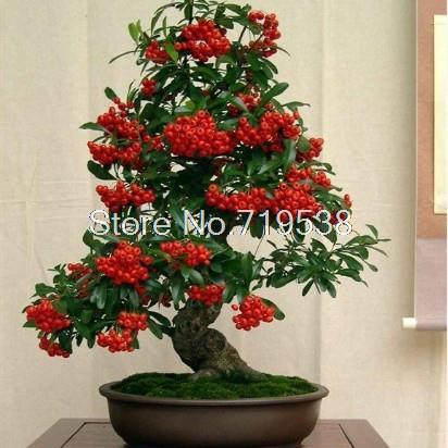 Balcony flowers indoor potted plants pyracantha bonsai tree seeds courtyard trees 100 seeds pack - Indoor flowering plants ...