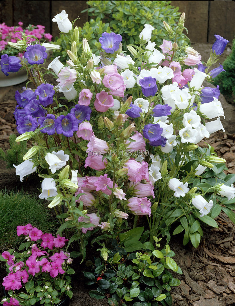 Canterbury Bells Mixed Seeds.Campanula Seeds.Long-lasting, bell-shaped flowers with rich colors.Attractive.About 50 Seeds.(China (Mainland))