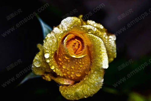 Bonsai Flower Rose Seeds 150 PCS Really Rare Golden Rose Natural Growth Beautiful and Moving Home