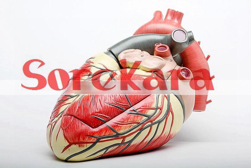 3:1 Human Anatomical Heart Anatomy Anatomy Viscera Medical Teaching Organ Model Hi-Q For School Hospital Teaching Education