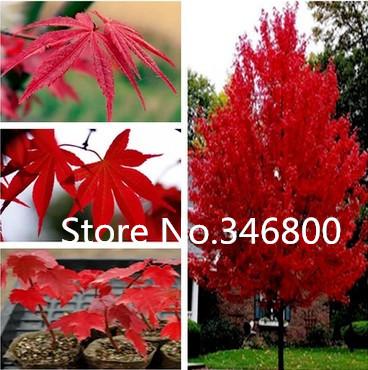 Карликовое дерево Canada Colorful Maple Tree 40pcs xr-22388 парка canada goose 3811l 49