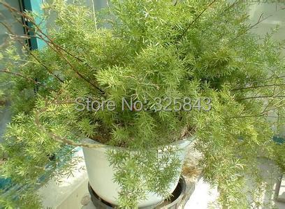 1 Original Pack, 6 seeds / pack, Lucid Asparagus Chinese Herbs Seeds