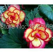 Begonia seeds, 50 begonia flower new fresh seeds , - ALI-Express No.1 store