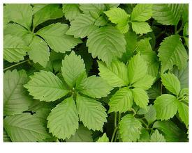 1kg 10:1 Fiveleaf Gynostemma extract Gynostemma pentaphyllum extract Herba Gynostemmatis extract