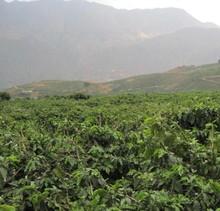 China Yunnan Green Coffee Bean Organic Typica 1000g Free Shipping
