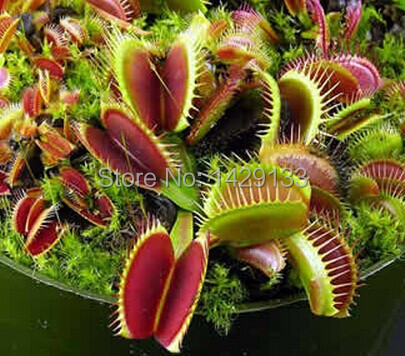 Free shipping Dionaea Muscipula Giant Clip Venus Fly trap Seeds 300PCS Insectivorous seed Garden Plant Seed Bonsai Family Potted(China (Mainland))