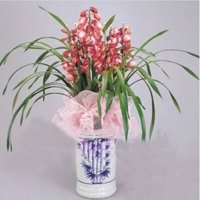Orchid bonsai formaldehyde air purification seeds Phalaenopsis Orchids 50 seeds