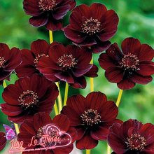 Rare Chocolate Cosmos Flower Seeds-blooms All Summer Long And Has Rich Scent Like Chocolate Diy Home Garden Flower 50 Seeds/pack