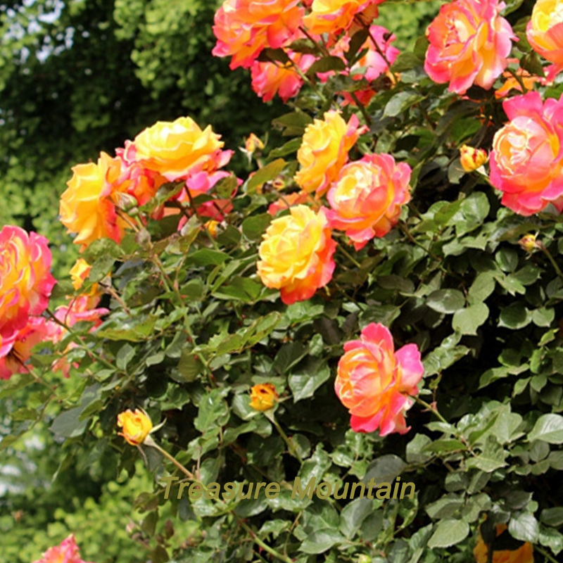 1 Professional Pack, 100 Seeds / Pack, Rare Full-petalled Orange Rose Seeds, Heirloom Very Fragrant Rose #NF205(China (Mainland))