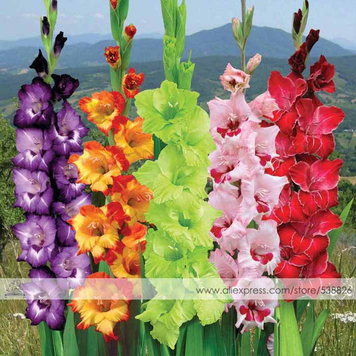 Different Perennial Gladiolus Flower Seeds, 1 Professional Pack, 50 Seeds / Pack, Rare Sword Lily Seeds #NF563(China (Mainland))