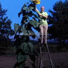 "20 Skyscraper ""12 feet tall"" Sunflower Seeds , Easy to grow, snack or Extract oil(China (Mainland))"