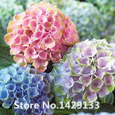 Promotion! Hot sale Hydrangea 300PCS Mixed Hydrangea Seeds Flowers Garden Plant Bonsai Viburnum macrocephalum Fort Free shipping(China (Mainland))