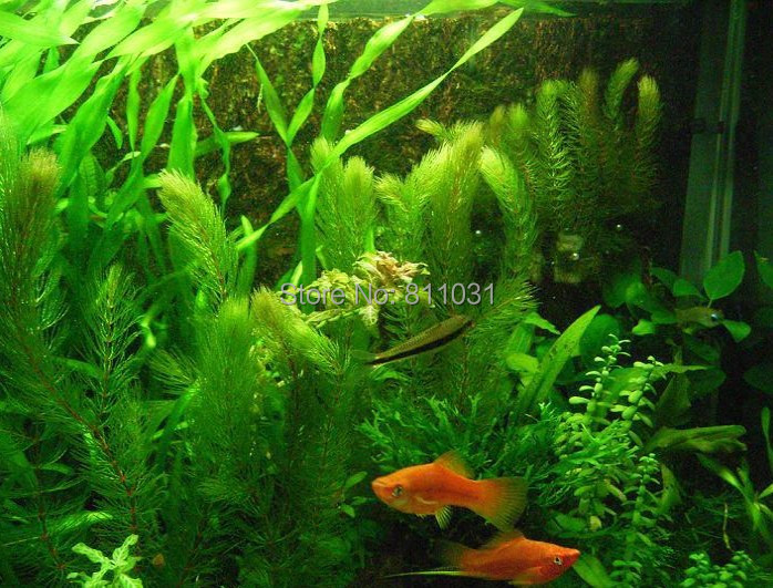 Hot selling 3000pcs/bag aquarium grass seeds (mix) water aquatic plant seeds family easy plant seeds free shipping(China (Mainland))