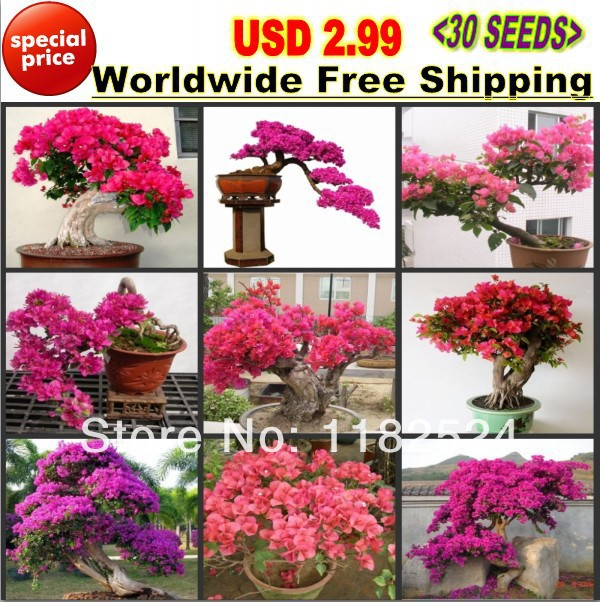 "USD 2.99 Worldwide 30pcs Mix-color 'Bougainvillea Spectabilis Willd"" Seeds bonsai flower plant seeds(China (Mainland))"