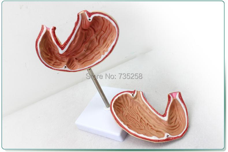 Gastric Anatomy Model,Digestive System Anatomical Model<br><br>Aliexpress