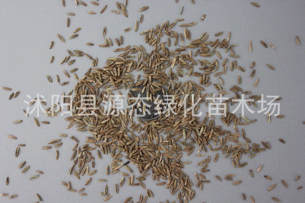 Wholesale quality seeds Evergreen Evergreen lawn seed garden villas turf seed evergreen(China (Mainland))