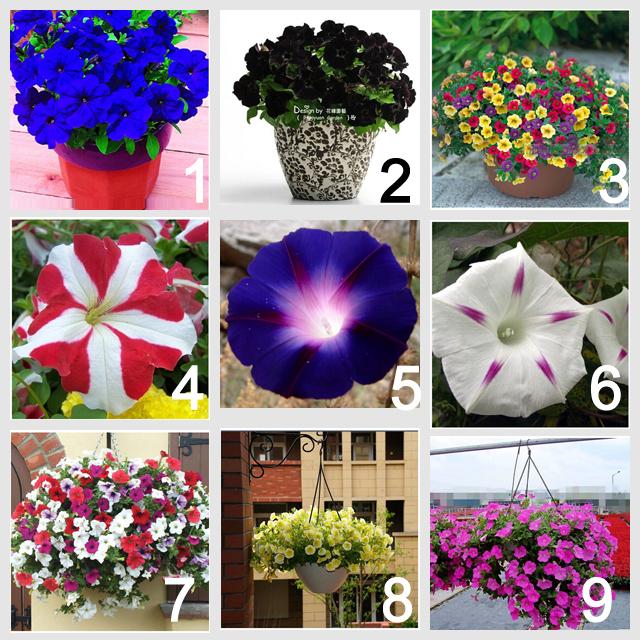 9 colors 450 Petunia seeds (50 seeds each color), Mix Garden Petunia Shuttlecock Flower Horn Bonsai Flower Seed- 450 seeds/bag(China (Mainland))