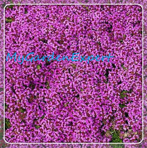 Creeping Thyme Thymus Serpyllum Magic Carpet - Carpet ...